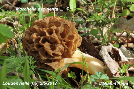 Morchella-esculenta-MP1.jpg