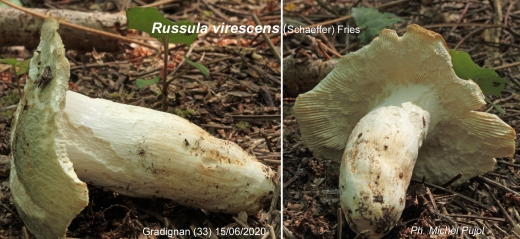 Russula-virescens-MP-2.jpg