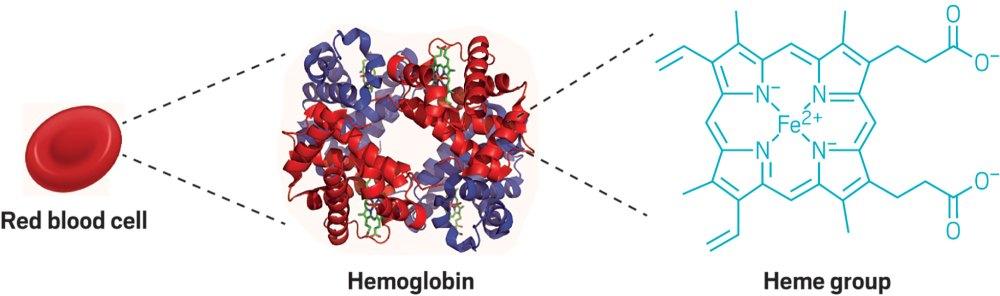 medium resolution of red blod cell diagram