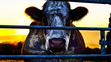 Photo of Cowspiracy: O Segredo da Sustentabilidade