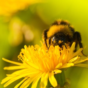 Bee image by Andreas Krappweis - from stock xchange.
