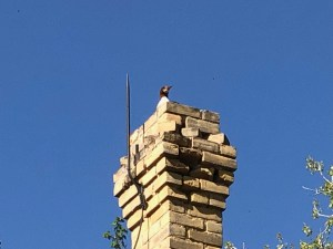 Photograph of a merganser duck roosting in the chimney of a 2-storey brick farmhouse