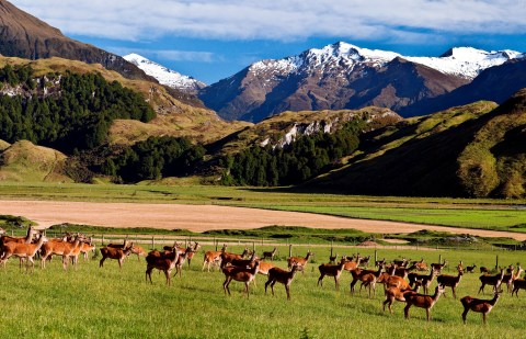 Venison grazing on a Cervena-certified farm in New Zealand.