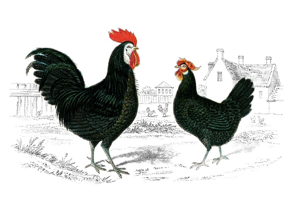Vintage-Images-Rooster-Hen-GraphicsFairy.jpg