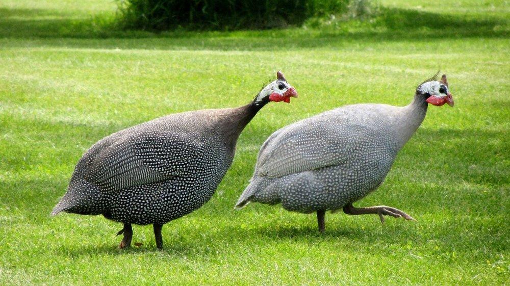 guinea-fowl-1474767_1280 (1)