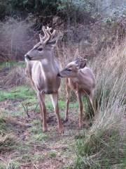 WL deer