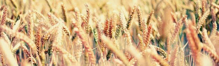 nasiona-siewne-zboza