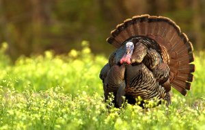 chafner-turkey-eastern-hunt