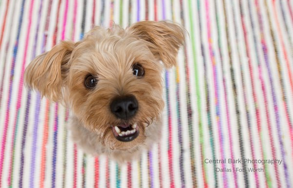 Yorkie dog sitting on striped rug