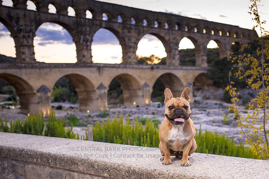 Frenchie dog in front of roman aqueduct posing for Dallas pet photography