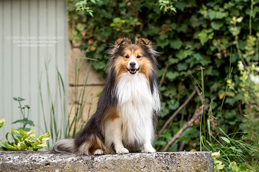 Sheltie dog sits in garden smiling for Dallas dog photographer
