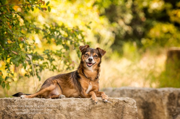 dallas dog photographer photographs dog makai lying on rock in park