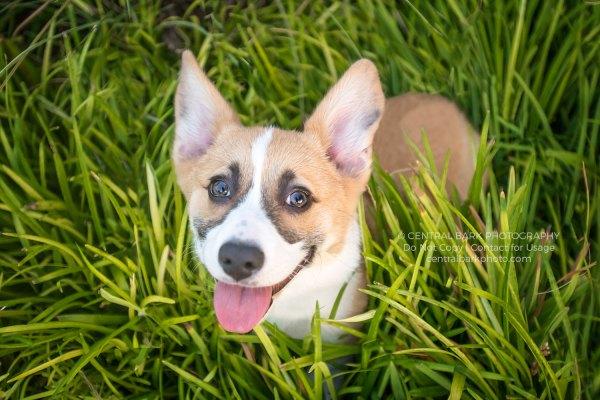corgi in grass smiling for frisco dog photographer