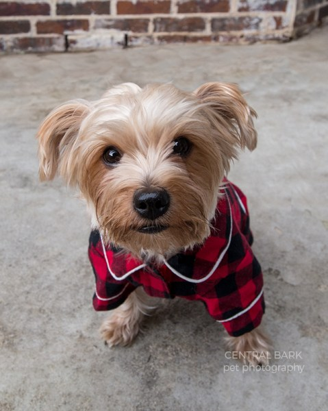Yorkie wearing buffalo check pajamas