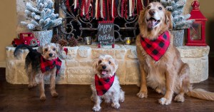 Three dogs wearing bandanas in front of fireplace