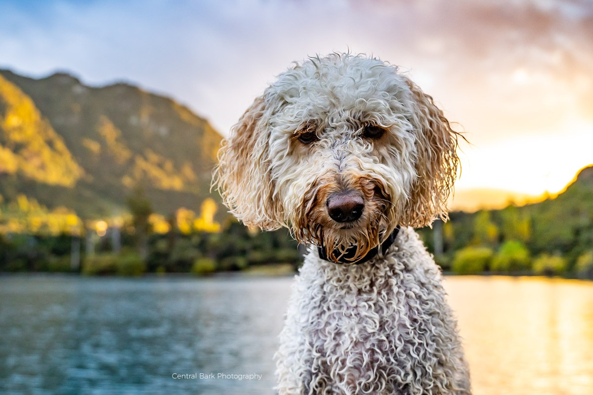 wet golden doodle dog by lake