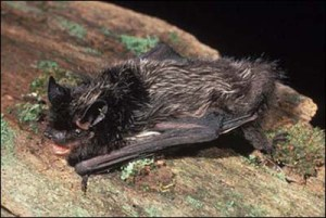Silver-haired Bat. Photo: Dr. R. W. Van Devender