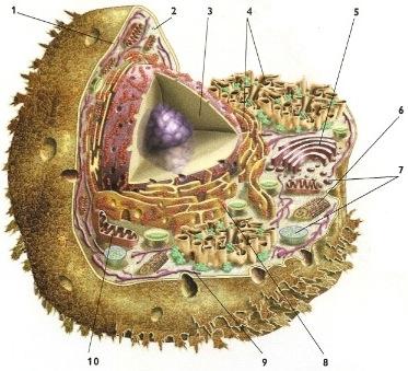 celula-anima