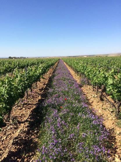 Cubierta vegetal en cultivo vino ecológico