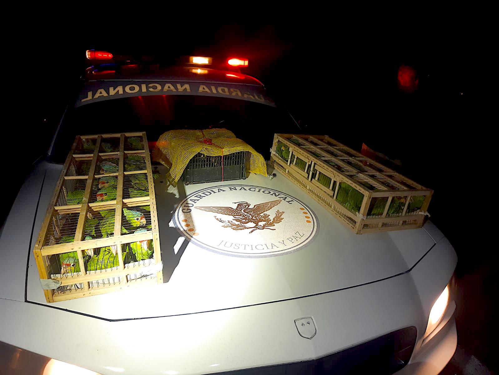 Rescata Guardia Nacional pericos hacinados en jaulas