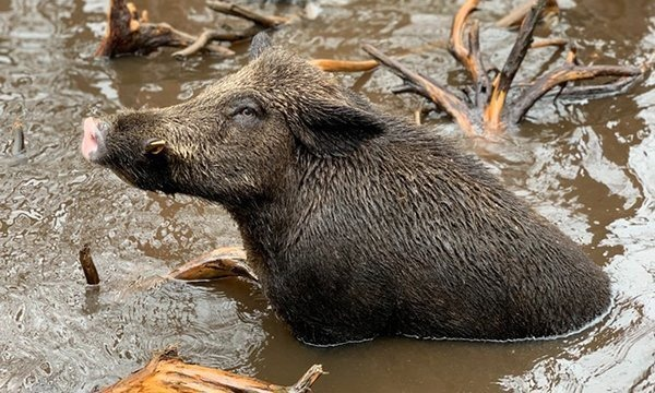 BEST TIMES FOR CENTRAL FLORIDA HOG HUNTING