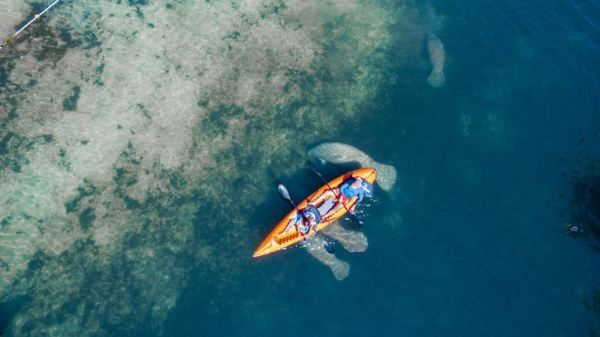 Aerial view of two people on a double kayak over a group of swimming manatees