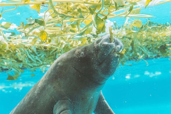 Manatee eating underwater vegetation close up picture