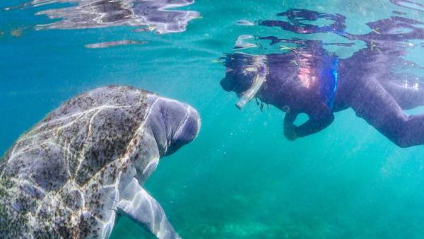 Scuba diver close underwater encounter with a manatee