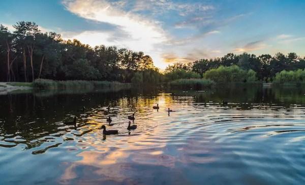 Ducks on a lake at dawn