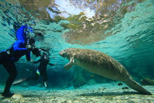 Diver taking close up photos of a manatee underwater
