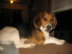 Jake, a 2 year old beagle boy!