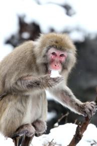 snow+monkeys+Central+Park+Zoo+endure+snowstorm+x8U4ry8XhDFl