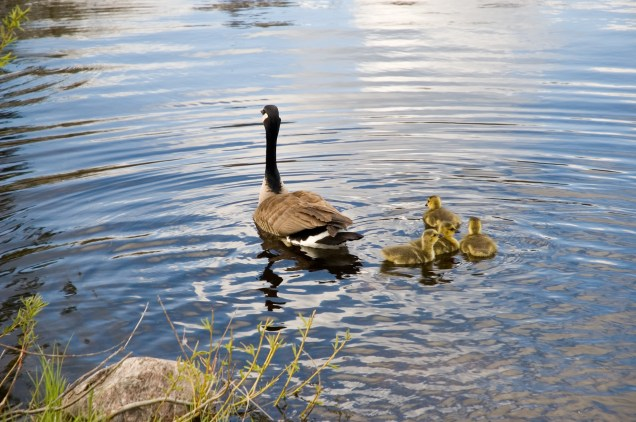 Canada goose with some of her babies at the Langman Wildlife Sanctuary in Oro township, (near Orillia) Ontario