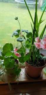 Phurpha Tsumu Lama Dhangsong - Indoor Plant 3
