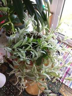 Phurpha Tsumu Lama Dhangsong - Indoor Plant 7