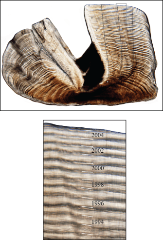 Sectioned otolith of a 51 year old Foxfish and a region at higher magnification showing indvidual increments and their corresponding years.