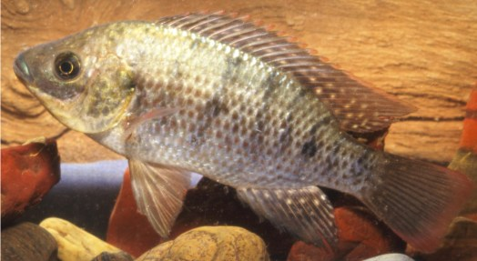 Oreochromis-mossambicus (David Morgan)