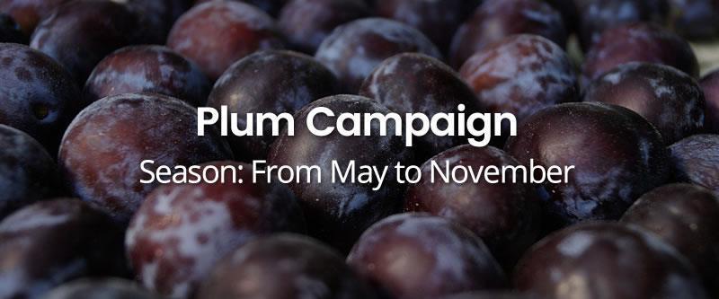 Plum-Campaign HOME
