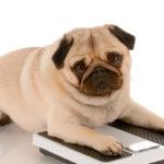 Chile y el problema de obesidad en perros