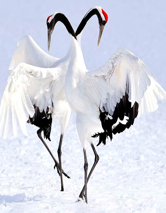 An image of 2 whooping cranes doing their courtship dance in the snow