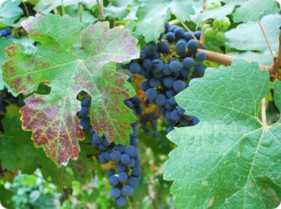 napa grapevines