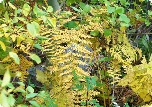 yellow fern