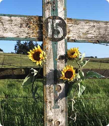 sonoma sunflowers