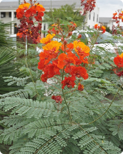 mexican bird of paradise