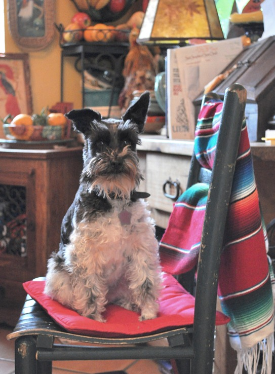pooch on chair