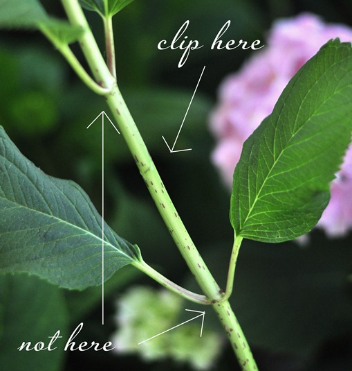 clip hydrangeas here