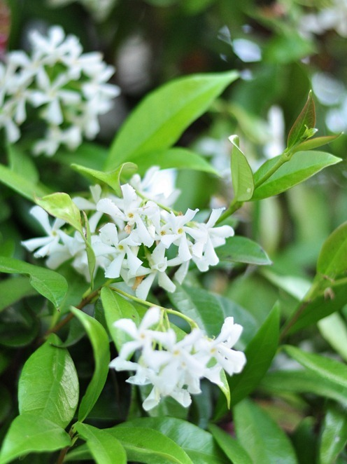 white jasmin