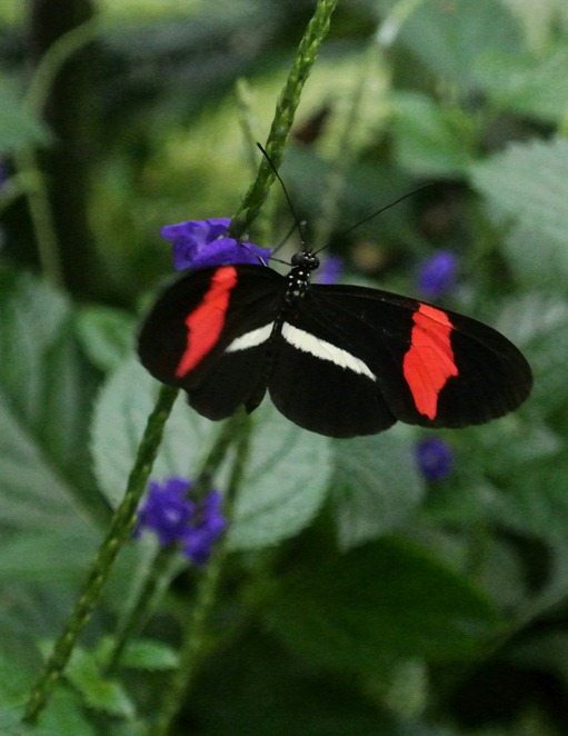 black and coral butterfly
