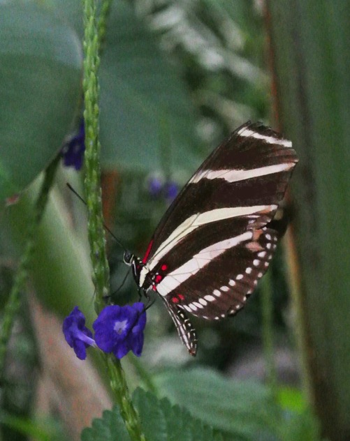 black and white striped butterfly