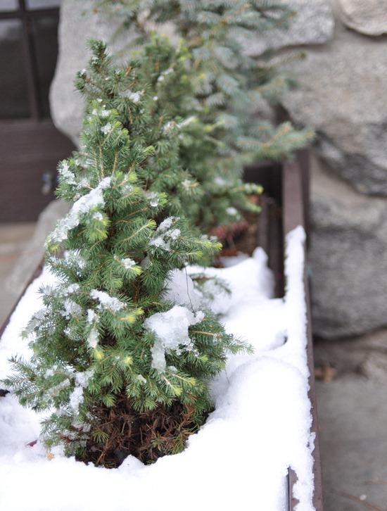 mini trees in planter
